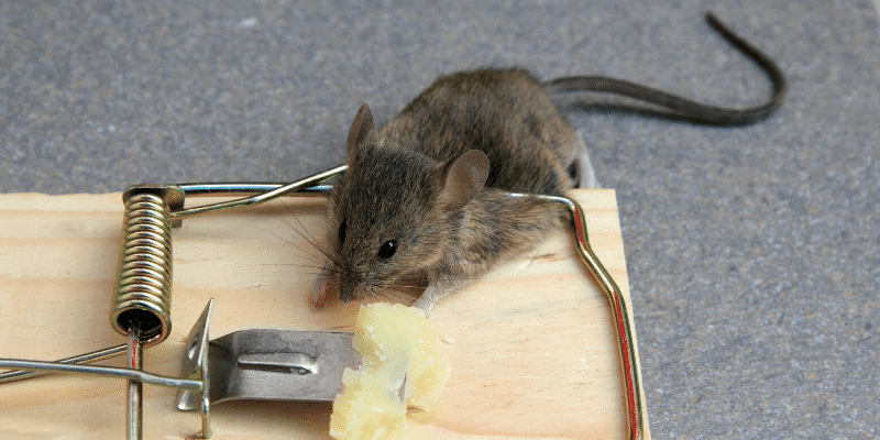 How to Dispose of a Dead Mouse